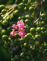 Pink Lantana Camara No. 1 by slephoto