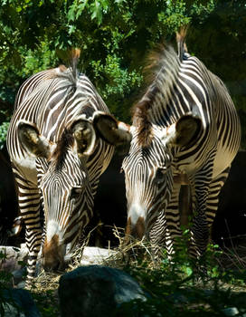 Grevy's Zebra No. 1 STOCK