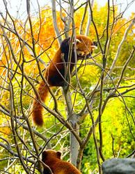 Red Pandas No. 1 STOCK