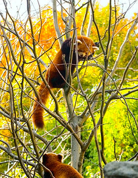 Red Pandas No. 1 STOCK