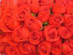 Roses in Bloom_i