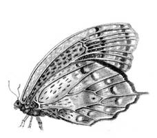 Quick sketch : Butterfly by Ankelwar