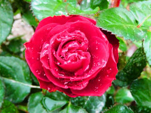 Water drops on the rose