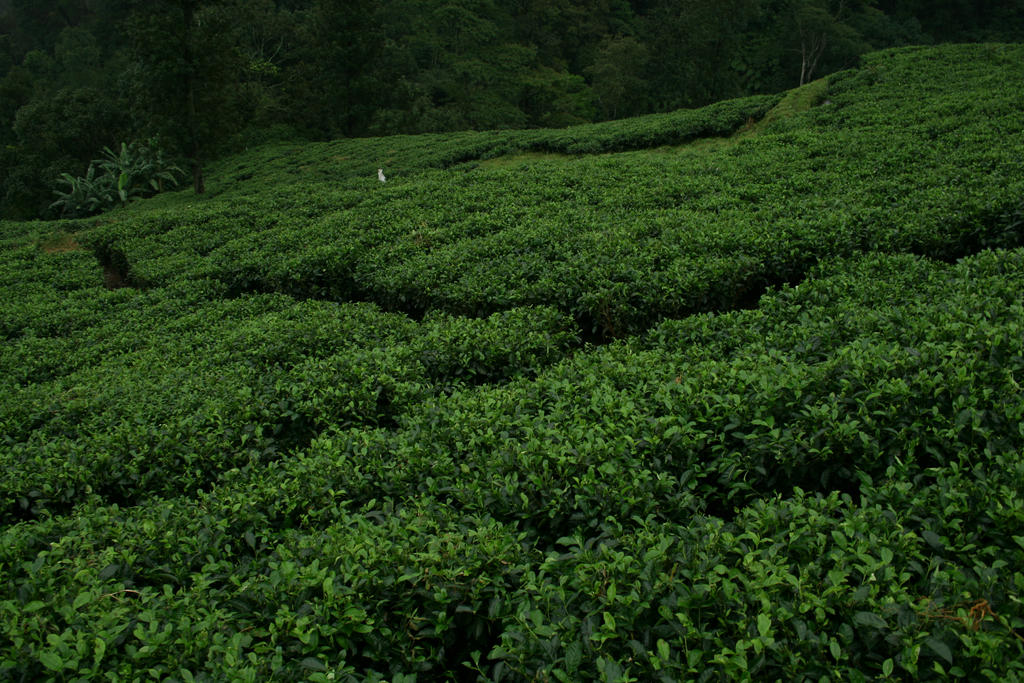tea plantation by blur-stock