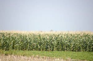 corn field by blur-stock