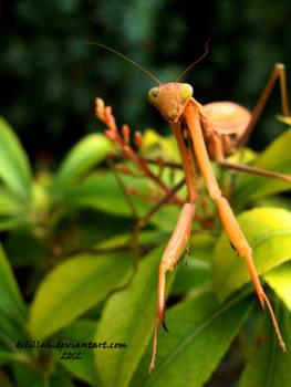 Autumn Mantis