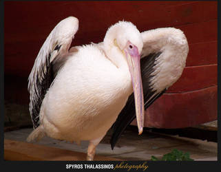 The return of the Dancing Pelican by sthalassinos