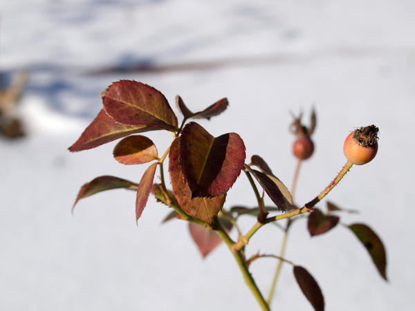 little_berry_in_the_snow_by_ZaZoom.jpg