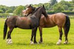 Black Horse Stock 16 (a mutual groom)