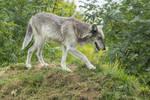 Captive Wolf Stock 2