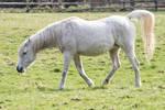 Grey Arabian Mare Stock 4