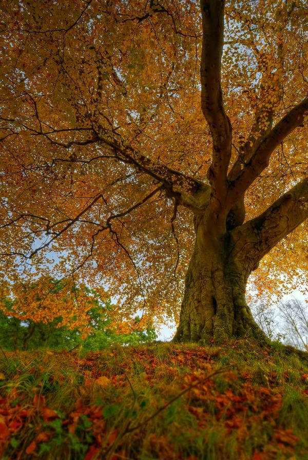 Belvoir Tree Autumn, Up Close by Gerard1972