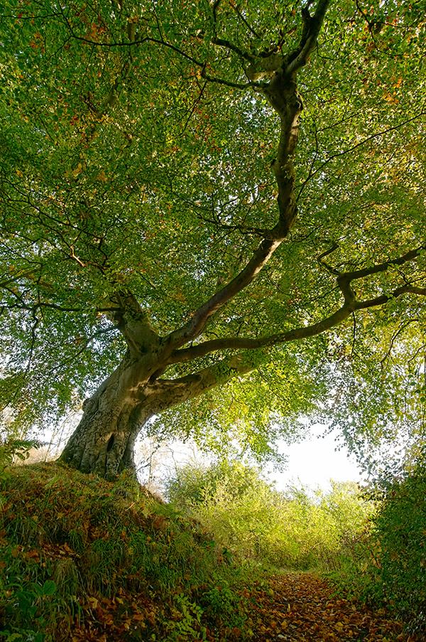 Belvoir Tree October 2009 III by Gerard1972