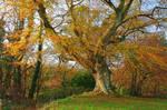 Belvoir Tree Autumn, Close III