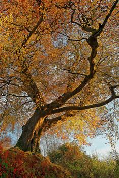 Belvoir Tree from Below III