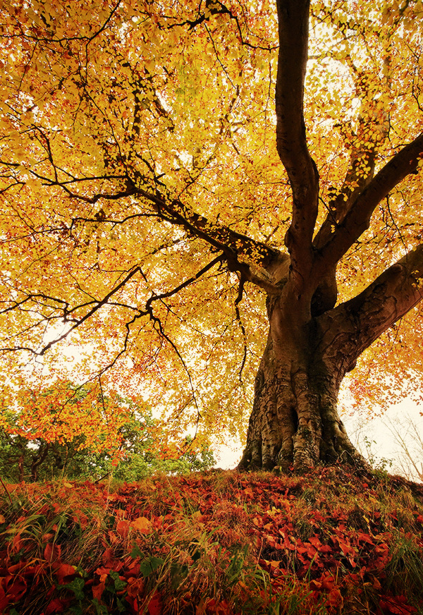 Belvoir Tree Autumn, C...