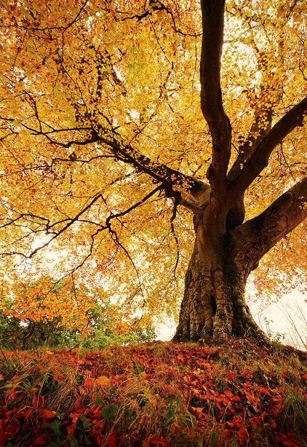 Belvoir Tree Autumn, Close R