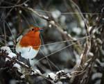 Winter Robin by Gerard1972