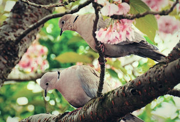 Doves in Blossom by Gerard1972