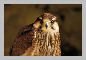 A Lanner Falcon by Rajmund67