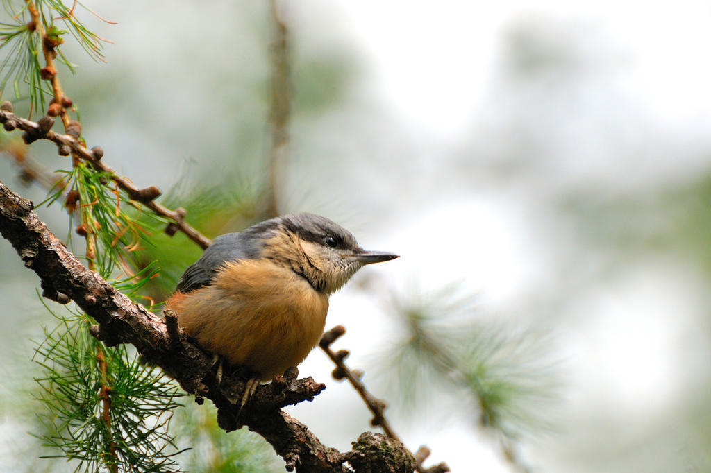 Juvenile nuthatch by Rajmund67