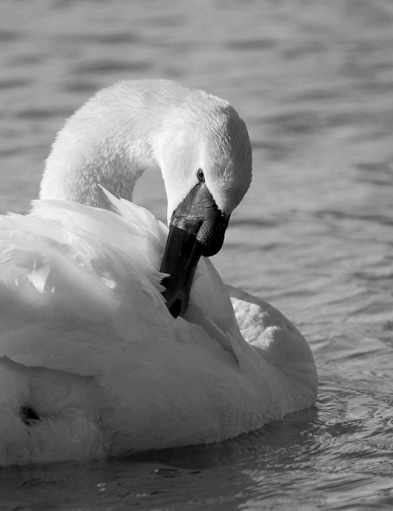 Swan 5 by TeddaT