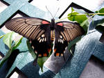 Swallow Tail 2 by AMLensCreations