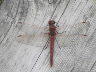 Dragonfly in red