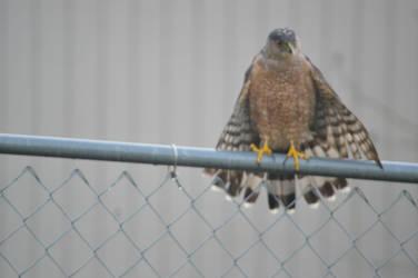 Coopers hawk 011616 (15)