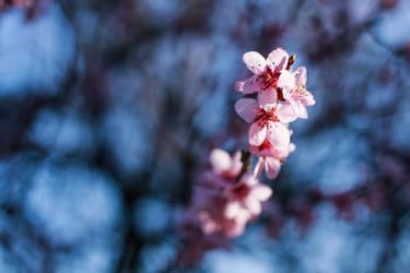 Peach blossom 5
