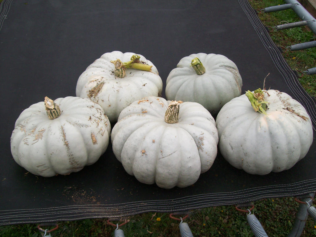 Pumpkins for Pumpkins sake - NZ style by Tempestwulf