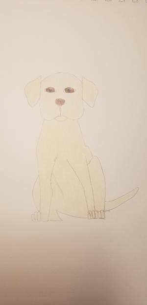 Labrador Retriever Contest Entry