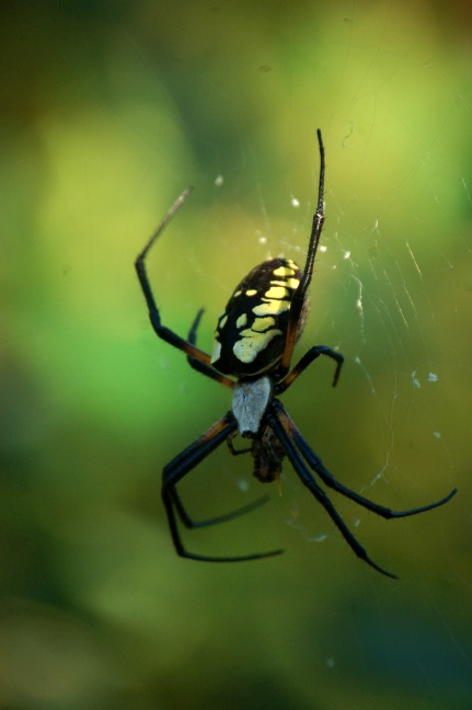 Yellow Garden Spider by queenkale