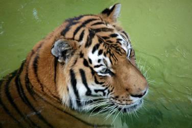 Amur Tiger by queenkale