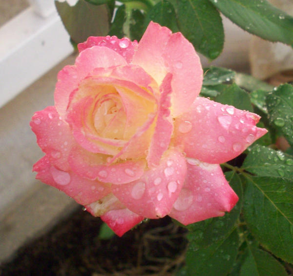 one perfect rose A single flow'r he sent me, since we met all tenderly his messenger he chose deep-hearted, pure, with scented dew still wet - one perfect rose i knew the language of the floweret.