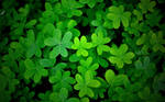 Clover In Shade