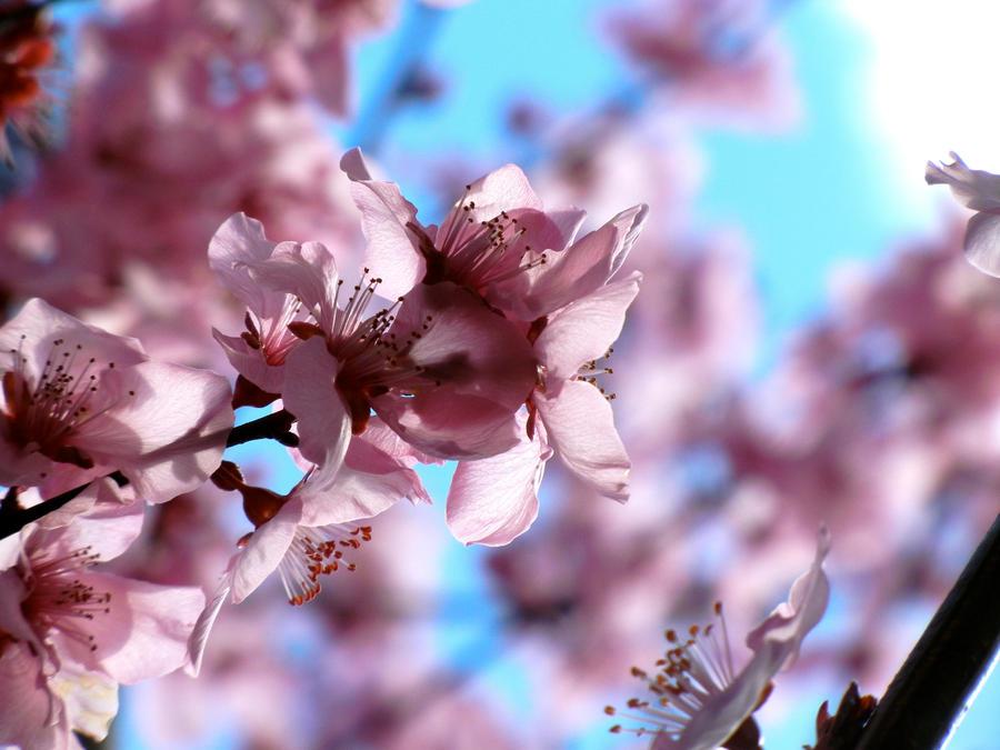 Plum Blossom XVIII by MadeleineAlana