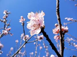 Early Blossom by MadeleineAlana
