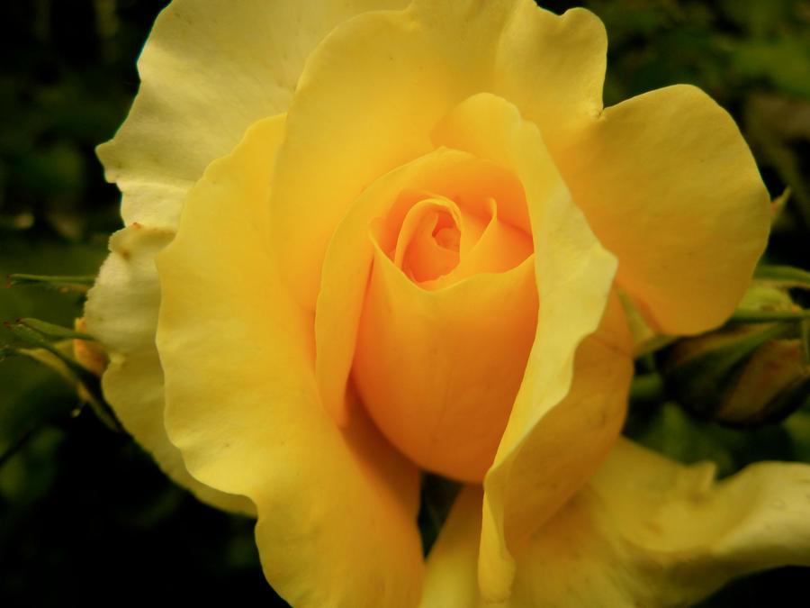 Yellow Rose II by MadeleineAlana