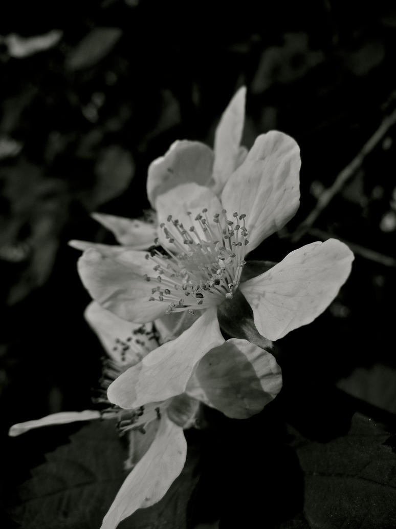 Blackberry Blossom VI by MadeleineAlana
