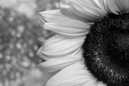B/W Sunflower
