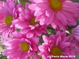 Pink Mums by youlittlemonkey
