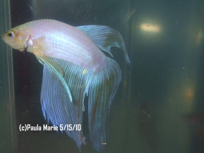 White pearl betta fish by youlittlemonkey on deviantart for How much are betta fish at petco