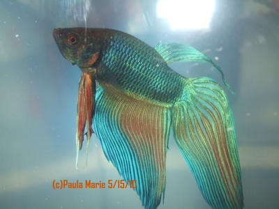 Betta fish bloated belly for Bloated betta fish