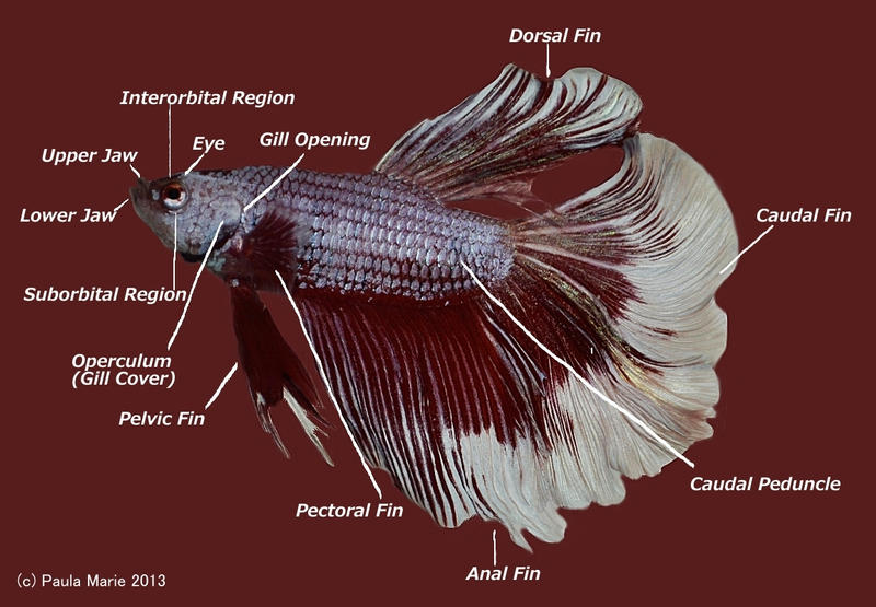 Betta Fish Anatomy by youlittlemonkey on DeviantArt