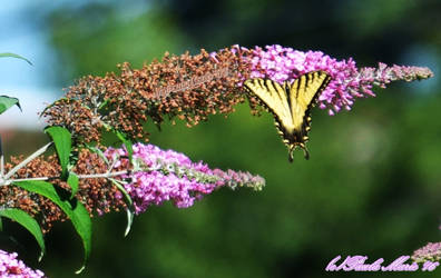 Yellow Tiger Swallowtail On A Butterfly Bush by youlittlemonkey
