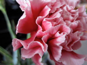 Pink Flower Two