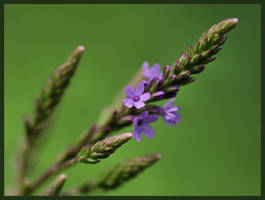 Blue Vervain by barcon53