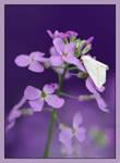 Purple by barcon53