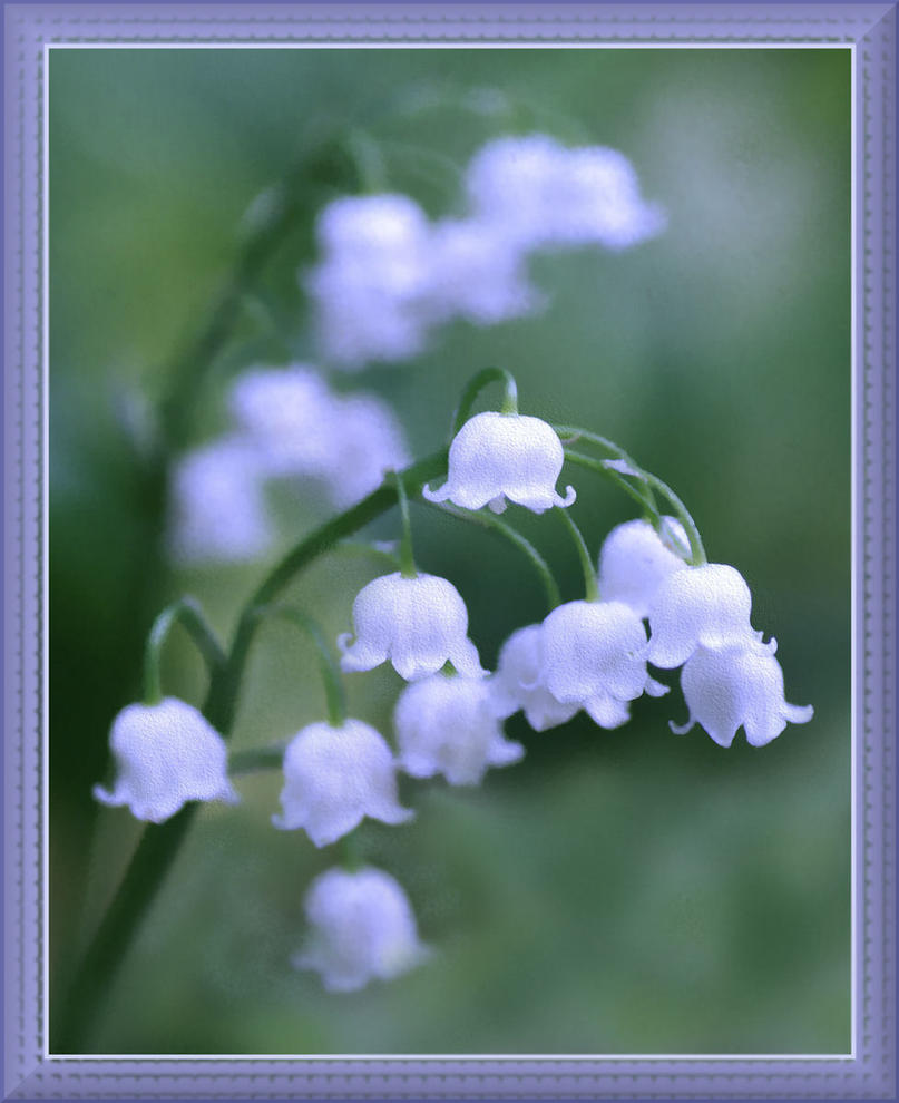 Lily Of The Valley By Barcon53 On DeviantArt